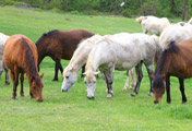 Jeju Horses on Green Meadow
