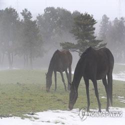 خيول ترعى في حقل ذاب فيه الجليد