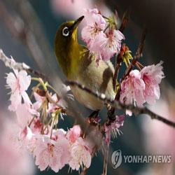 활짝 핀 벚꽃, 달콤한 유혹
