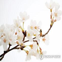 再び桜咲く