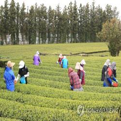 Teeernte auf Jeju