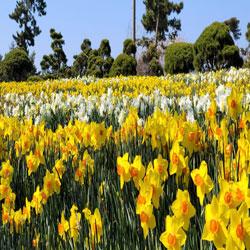 Daffodils in Taean
