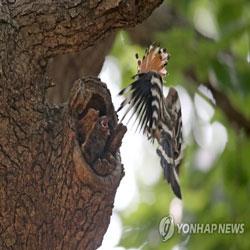 Удод кормит птенцов