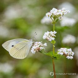 Белая капустница на поле гречихи