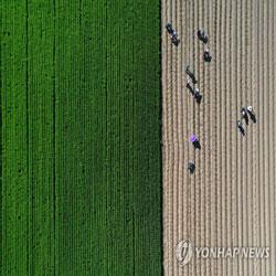 Крестьяне сажают корейскую капусту