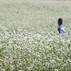 تفتح زهور الحنطة السوداء في جزيرة جيجو