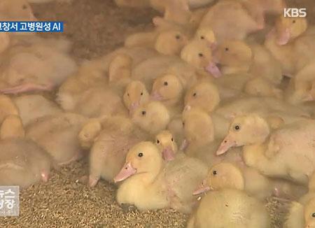 Le virus H5N6 détecté dans un élevage de canards à Gochang