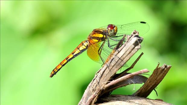 El calor causa desplazamiento de libélulas tropicales hasta Seúl