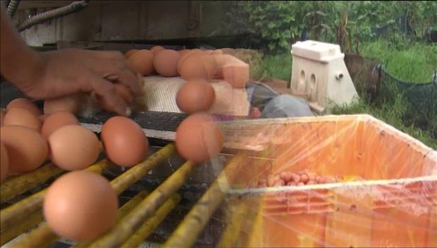 Crise des œufs contaminés : le pouvoir est à pied d'œuvre pour rassurer les sud-Coréens