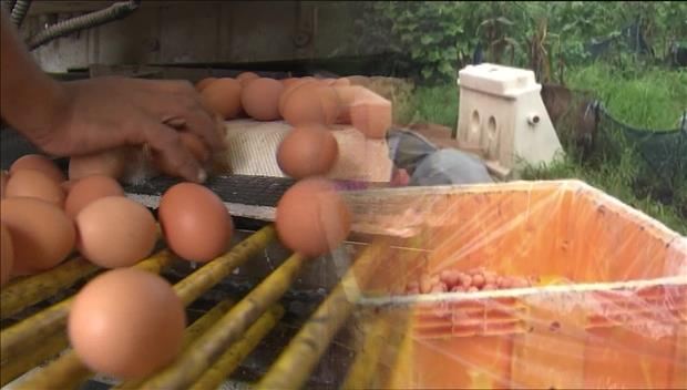 Tiêu hủy toàn bộ trứng gà nhiễm chất diệt côn trùng tới hết ngày 18/8
