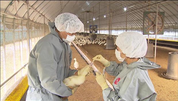 Grippe aviaire : premier cas de la saison confirmé en Corée du Sud