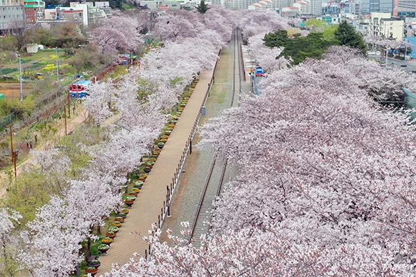 Kirschblüten in Jinhae
