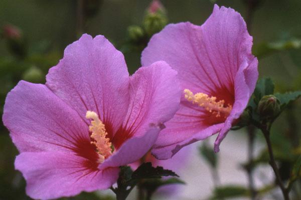 韩国国花与首尔市市花