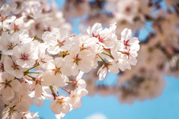 春の花まつり