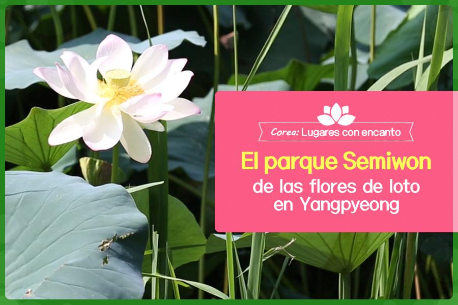 #25. El parque Semiwon de las flores de loto en Yangpyeong