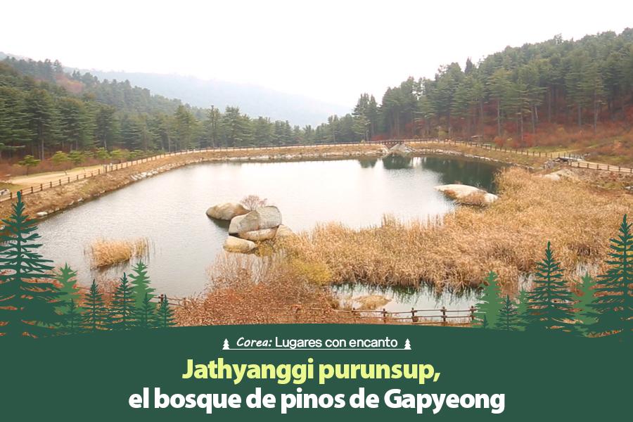 #39. Jathyanggi purunsup, el bosque de pinos de Gapyeong